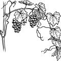 Drawing & Sketch, Grapes,fruit vector