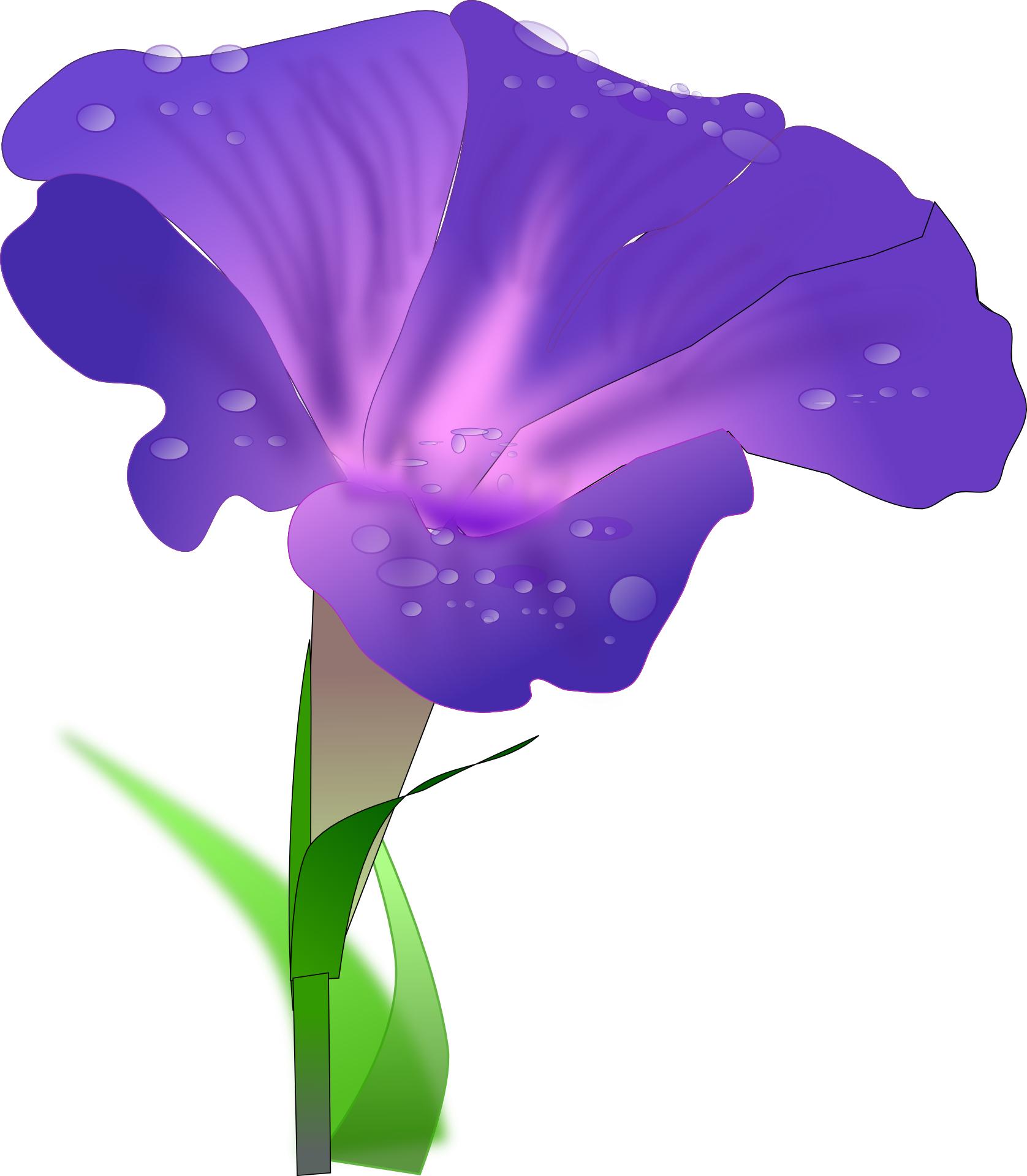 Purple morning glory,dewdrop,flower vector