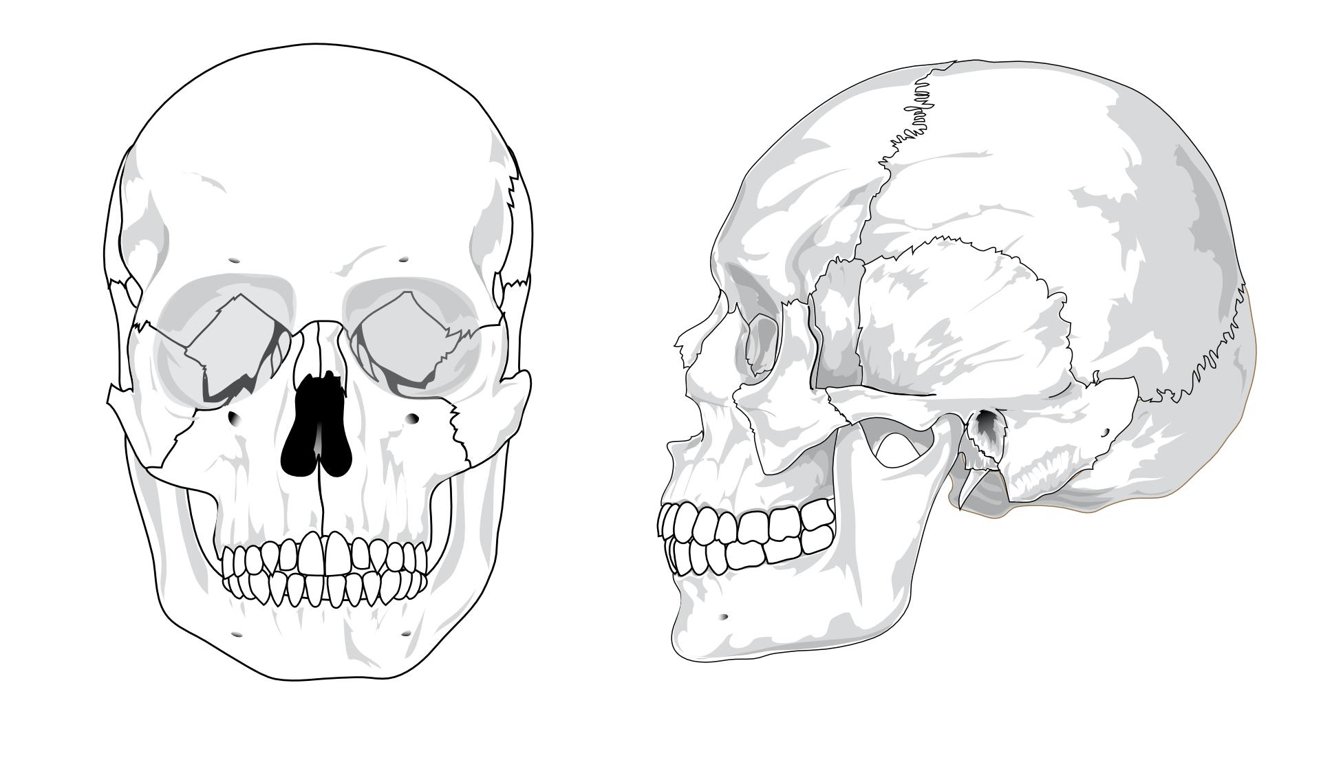human skeleton,skull vector